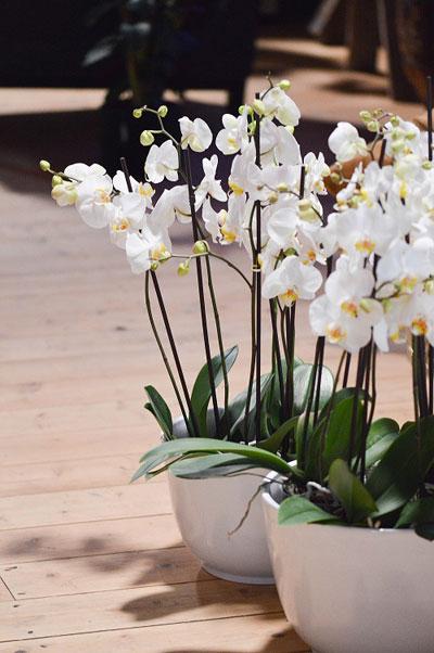 Vi bør ha lys og blomster i bøtter og spann. Her er orkideèr fra Mester Grønn.